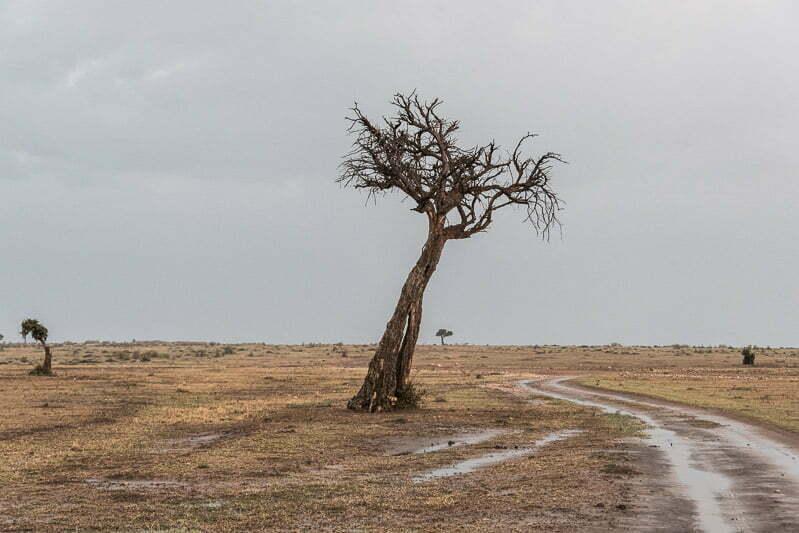 árbol seco junto a pista en masai mara