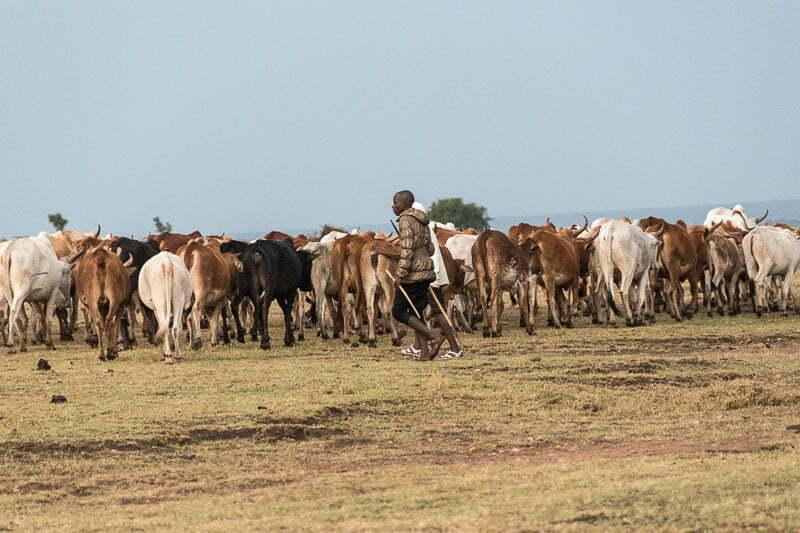 masai conduciendo rebaño de vacas en el masai mara