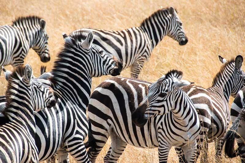 grupo de cebras en el masai mara