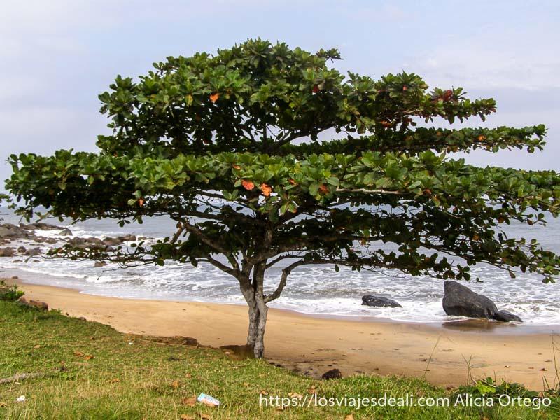 playa de kribi con enorme flamboyán en la orilla sur de camerún