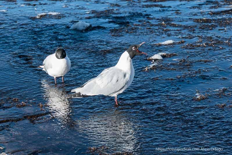 dos gaviotas andinas con cabeza negra cuello blanco y cuerpo gris en el agua de un arroyo en geysers del tatio