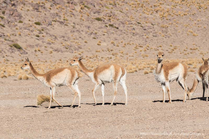 tres vicuñas en reserva nacional de fauna andina eduardo avaroa