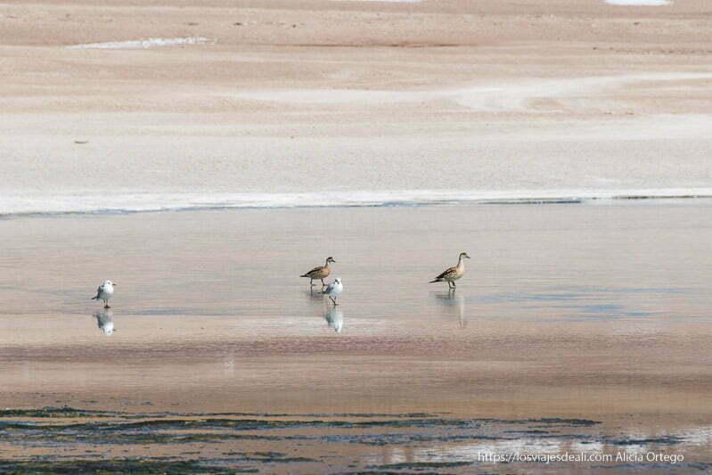 patos y gaviotas en el suelo helado de la laguna reserva nacional de fauna andina eduardo avaroa