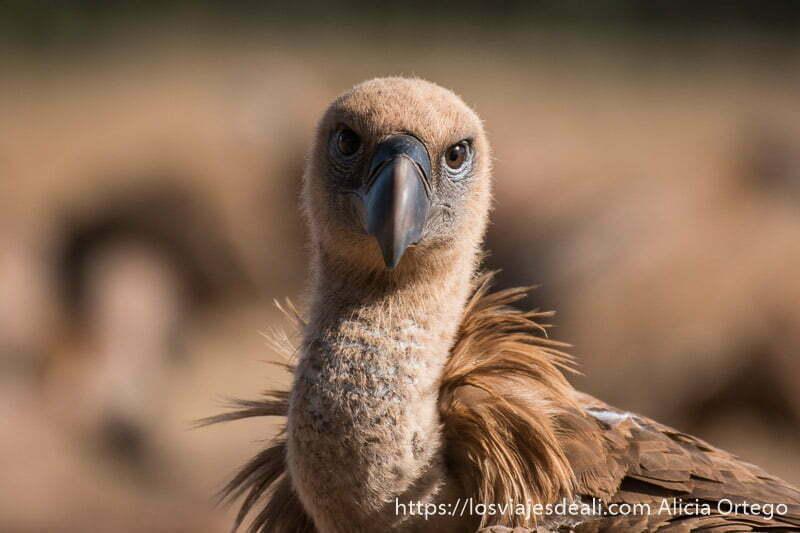 retrato de buitre leonado mirando a la cámara con plumas color marrón claro actividad en una escapada perfecta a cáceres