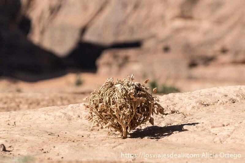 rosa de jericó formando como un puño cerrado sobre suelo de roca fauna y flora del desierto del sahara