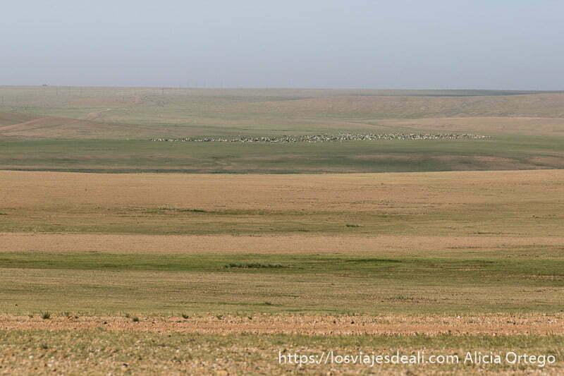estepa con horizonte lejano y granjas verdes y color arena con un rebaño al fondo en el viaje a mongolia