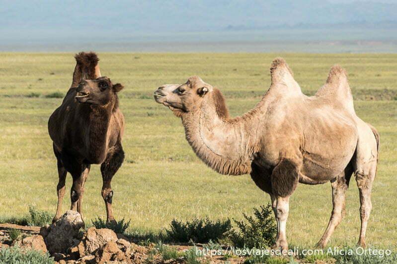 dos camellos bactrianos, uno de pelo oscuro y el otro claro, en la estepa de mongolia