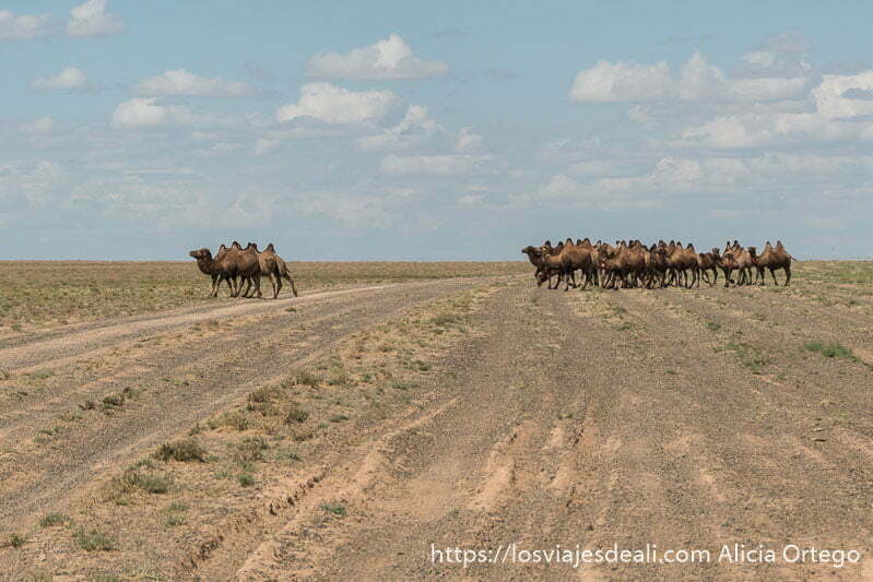 rebaño de 30 o 40 camellos bactrianos cruzando la pista por la que avanzamos