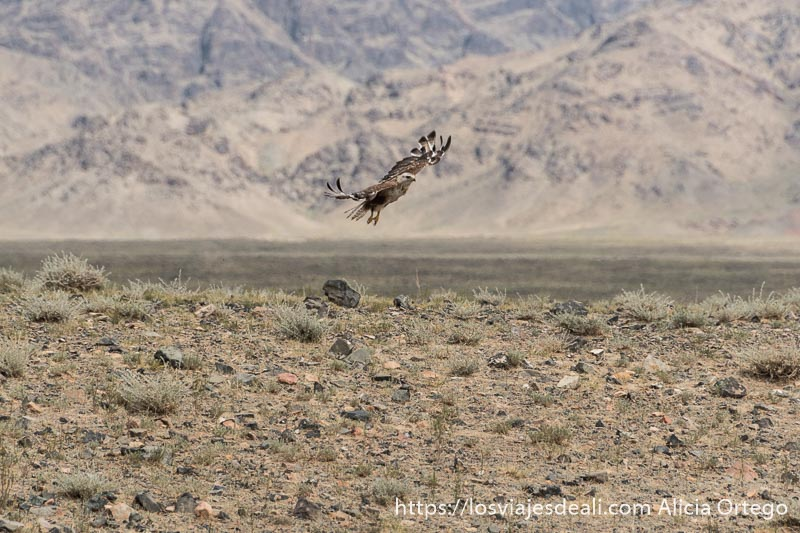 águila levantando el vuelo en un paisaje de roca y pequeños arbustos viajar a mongolia