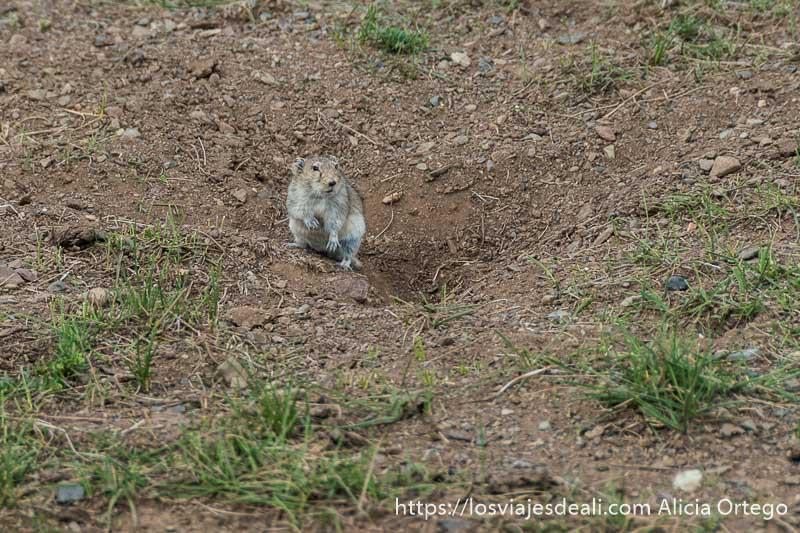 ratón de campo junto a su madriguera
