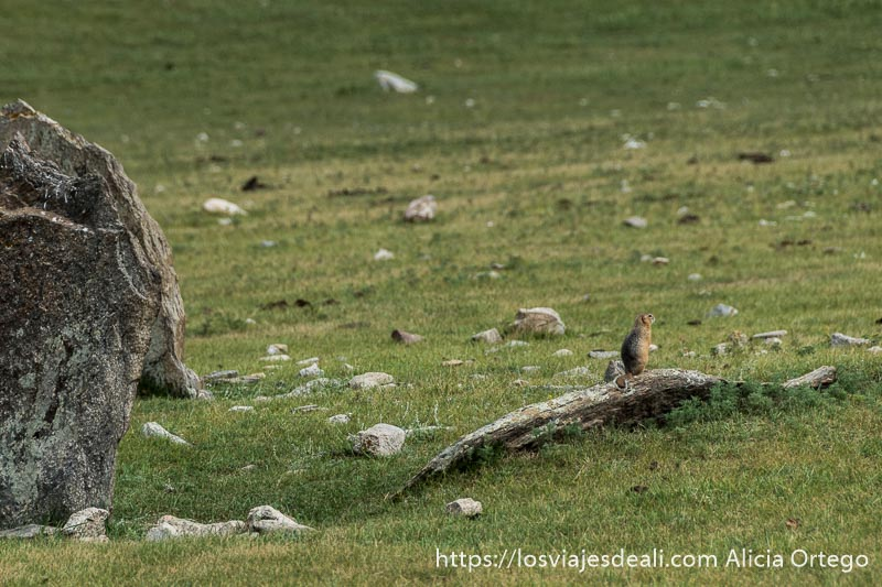 marmota sobre una roca de las tumbas de la edad de bronce en el valle de orkhon