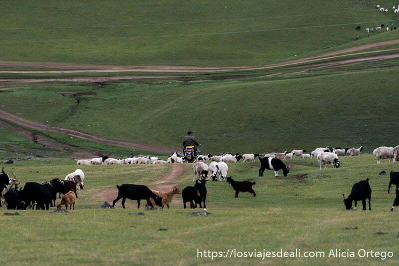 pastor mongol en moto entre su rebaño de cabras y praderas verdes en el valle de orkhon