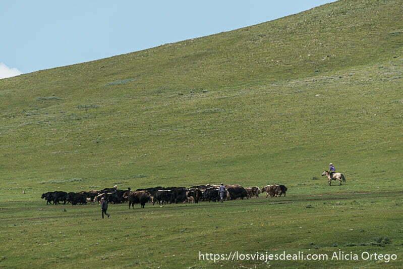 pradera con monte inclinado muy verde y un rebaño de vacas con pastor a caballo para agruparlas en mongolia