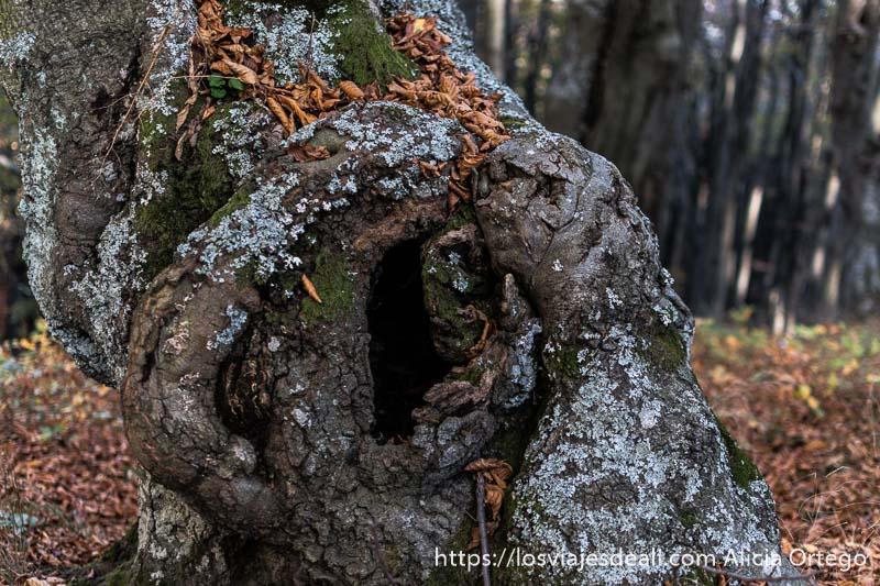 tronco de haya nudoso con agujero en el centro, musgo verde y hojas secas en sliven