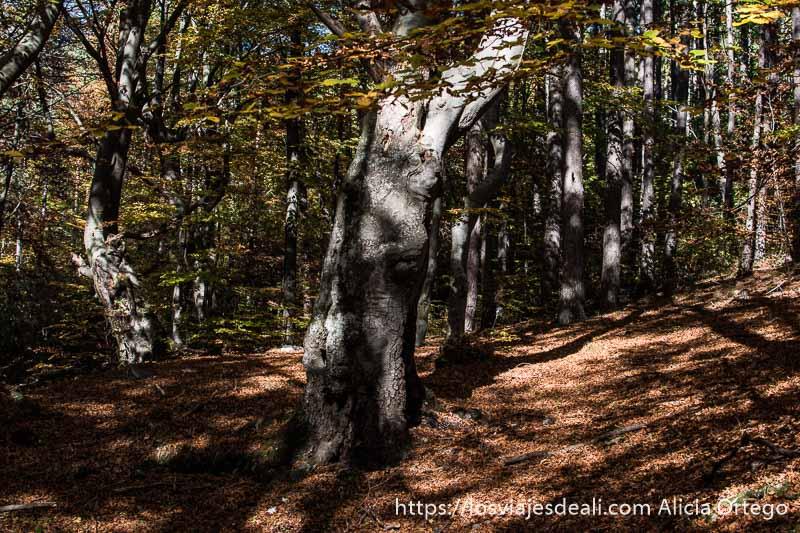 gran tronco de haya de color gris claro con nudos en el tronco y algunas ramas con hojas y suelo lleno de hojas rojizas en el monte karandila