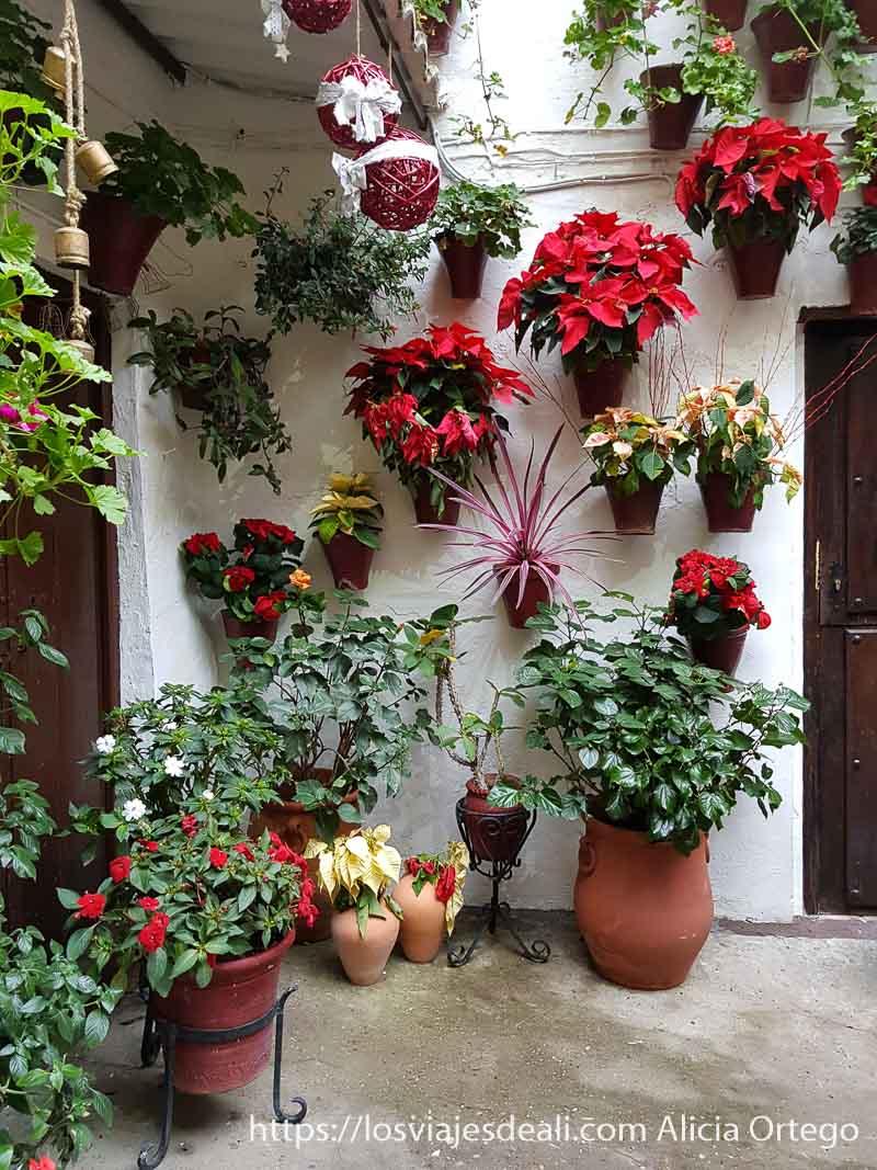 esquina de patio de córdoba con muchas flores rojas de navidad visitar córdoba