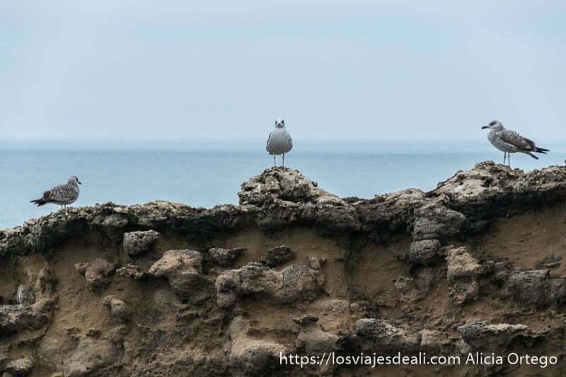 tres gaviotas posadas sobre roca son de coalor marrón con pintas blancas y al fondo el mar en la excursión a san juan de luz y biarritz