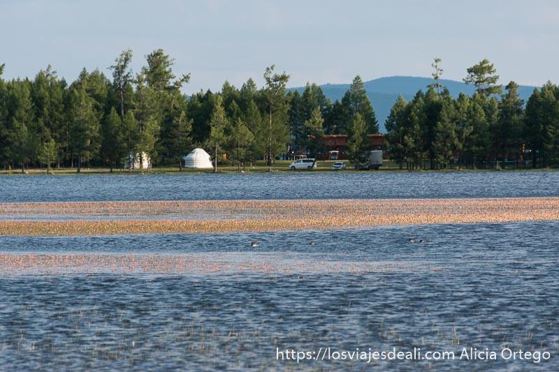 lago khovsgol con plantas de color dorado y al fondo otra orilla con árboles tipo pino y dos ger blancos