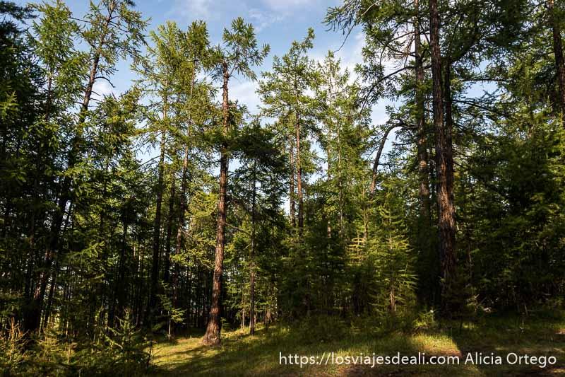 bosque de abetos muy altos