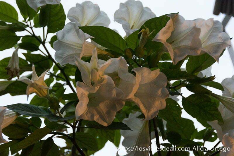 flor burundanga de color blanca con forma de trompeta en uno de los patios de córdoba