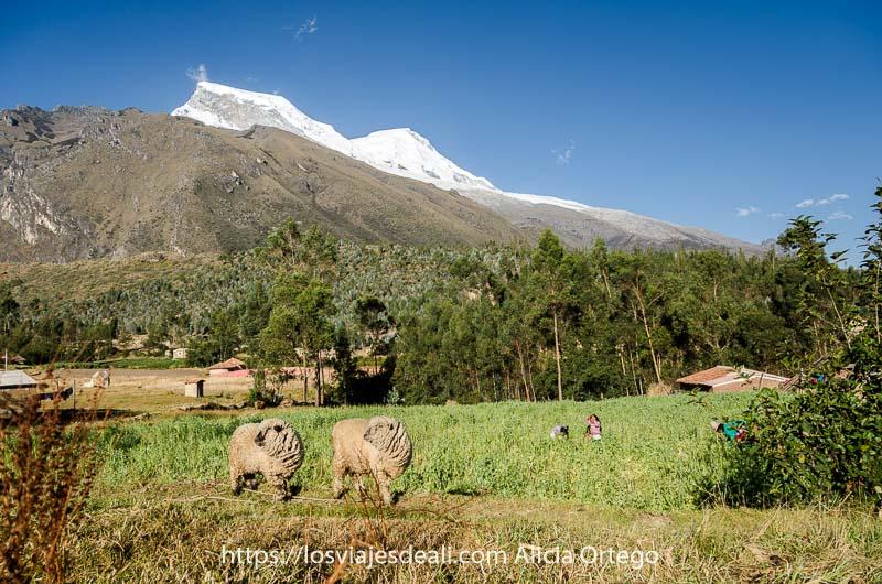 paisaje de campos con dos ovejas con mucha lana y al fondo el pico huascarán lleno de nieve con cielo azul