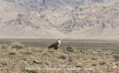 águila mirando a la cámara posada en suelo semidesértico con gran montaña detrás de color arena fauna de mongolia