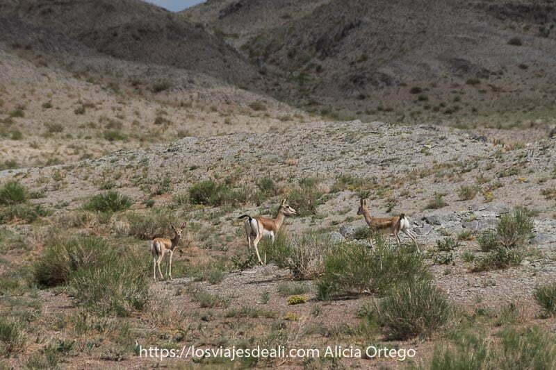 gacelas en un paraje desértico con algunos matorrales tienen la cola negra y el culo blanco fauna de mongolia