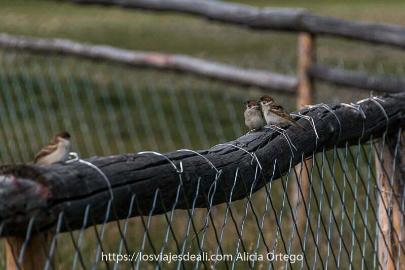 3 gorriones comunes con cabeza de color marrón rojizo posados en el tronco de una valla con alambrada