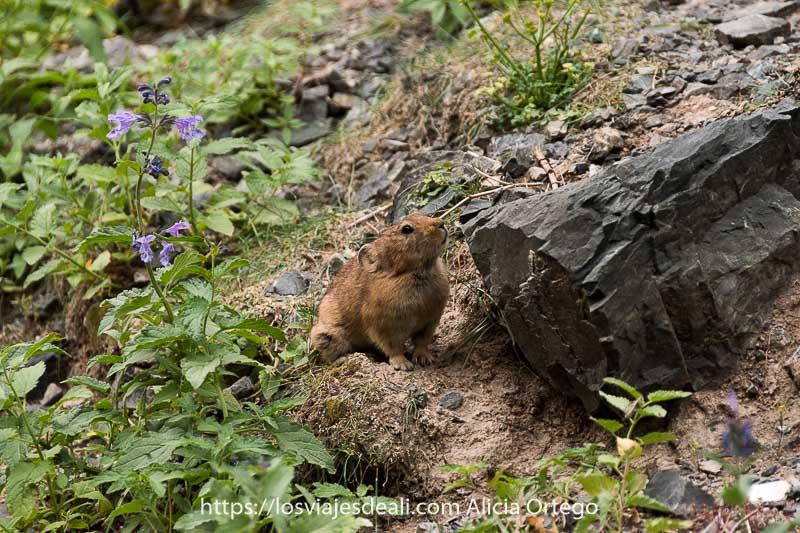 ratón de campo de color marrón rojizo con grandes orejas entre rocas y plantas con flores fauna de mongolia