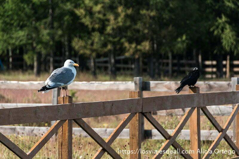 gaviota posada sobre valla de madera y cuervo negro un poco más a su izquierda fauna de mongolia