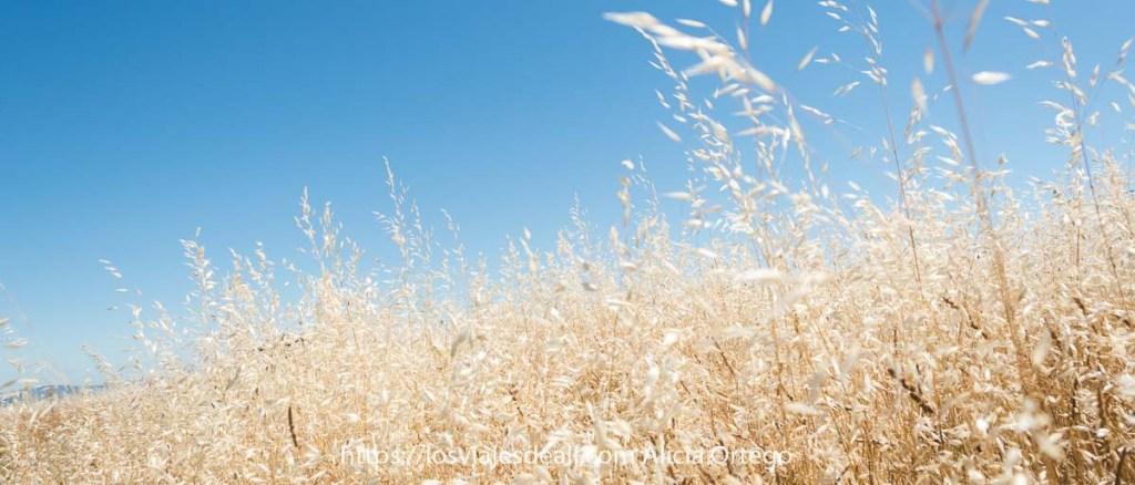 horizonte de avena loca de color amarillo muy claro sobre cielo muy azul fotos del verano