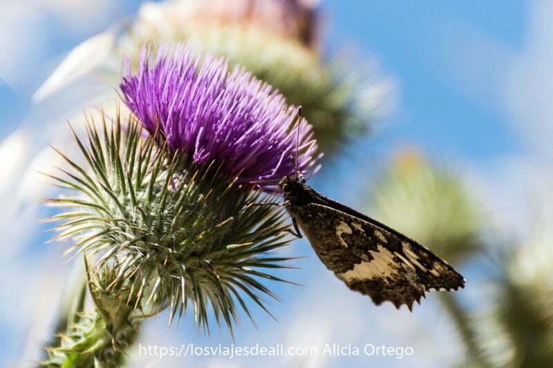 fotos del verano: mariposa libando en flor de cactus de color morado