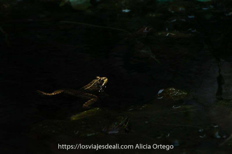 fotos del verano: sapo nadando en estanque oscuro con sol iluminando cabeza y patas