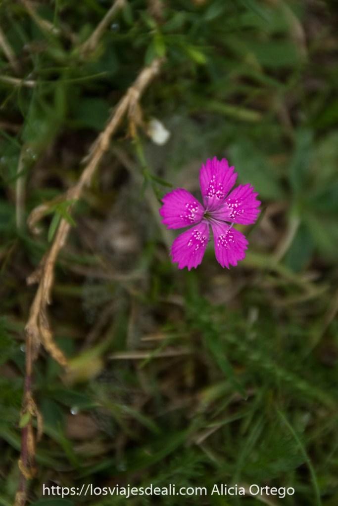 flor de color rosa fucsia de 5 pétalos y con pequeñas motas blancas en el Valle de Bujaruelo
