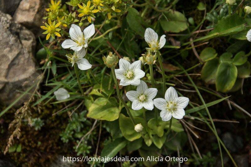 grupo de flores blancas con pequeñas rayas en los pétalos