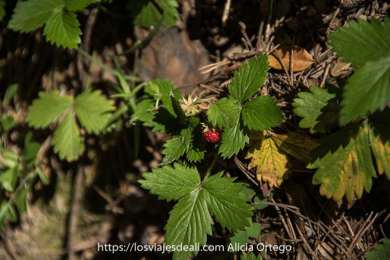 fresa silvestre madura entre hojas verdes