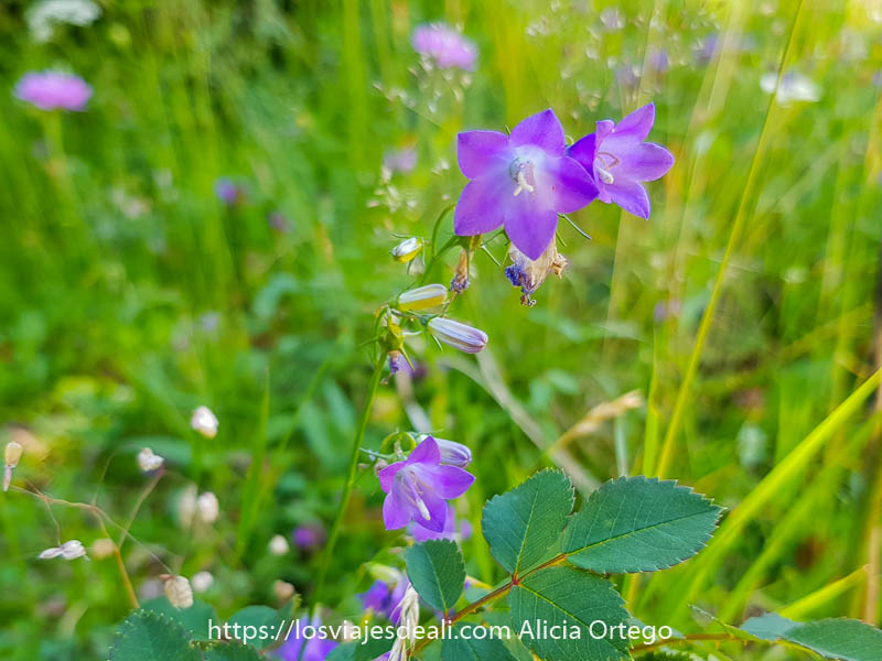 flores de color malva tipo campanillas abiertas