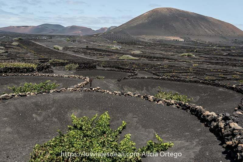 cultivo de vid en agujeros excavados en la lava en lanzarote