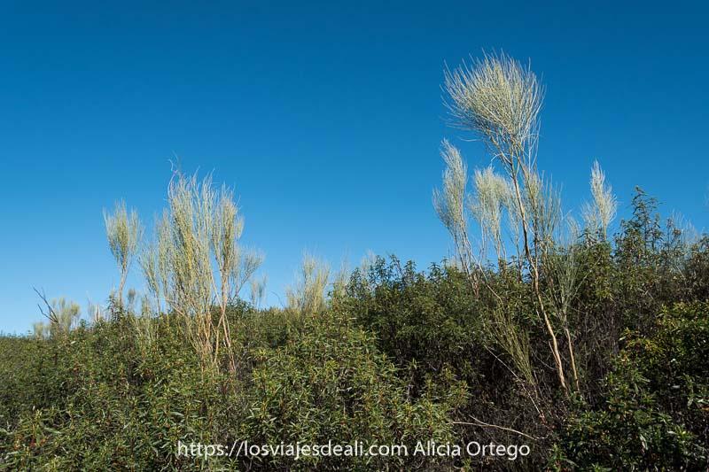 jaras y algunas plantas escoba recortándose en el cielo azul en las cárcavas