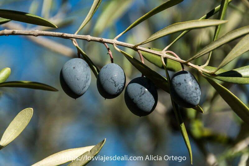 cuatro aceitunas negras en la rama de un olivo