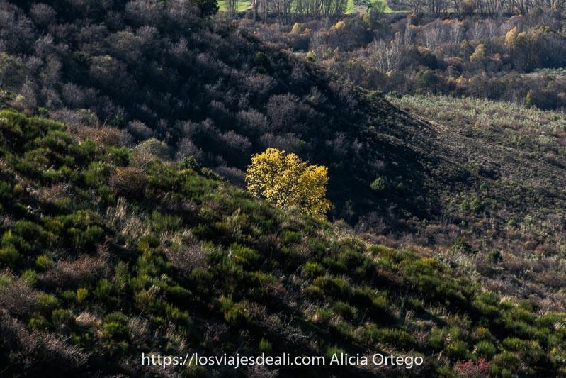 árbol con hojas amarillas en la ladera de un monte rodeado de arbustos verdes
