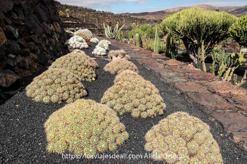 jardín de cactus con ejemplares agrupados como botones y al lado otros como árboles