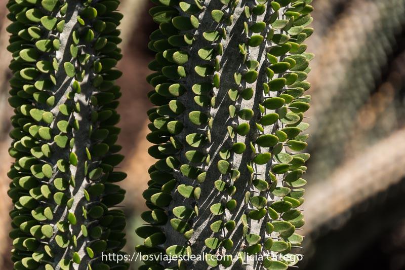 cactus con hojas redondeadas en uno de los lugares que ver en lanzarote