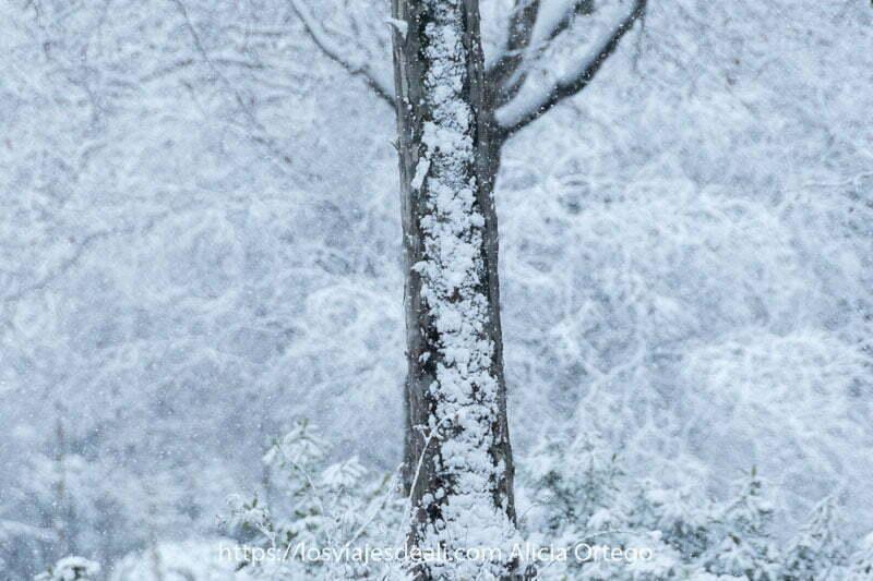 tronco de árbol con capa de nieve y detrás más árboles blancos