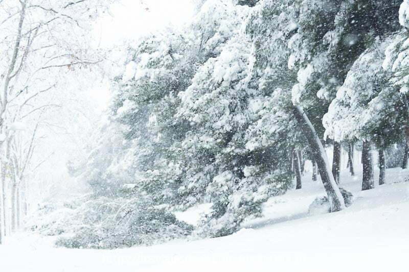 pinos con grandes ramas caídas por el peso de la nieve en madrid