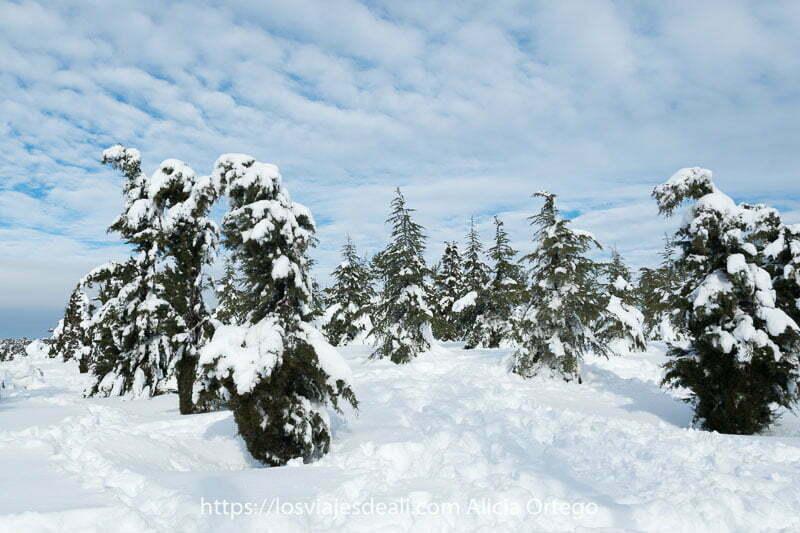 abetos del parque llenos de nieve con cielo azul con nubes formando líneas oblicuas en el cielo