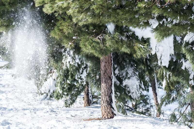 nieve cayendo de un pino en los días de nieve en madrid