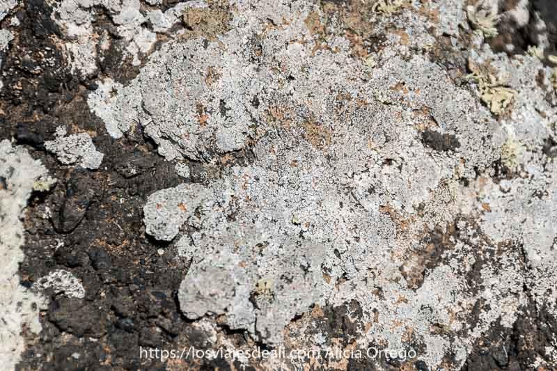 líquenes de color blanco sobre lava