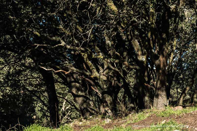 encinas viejas con musgo en los troncos