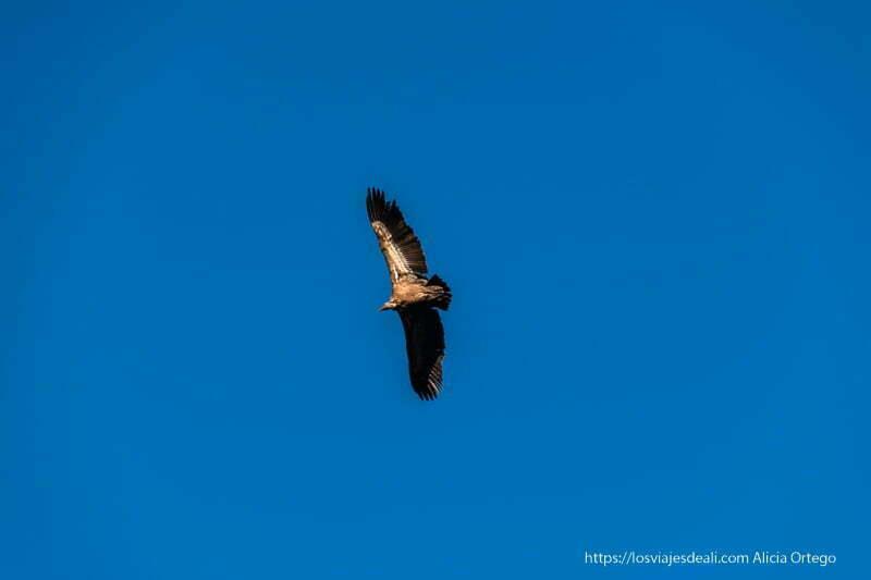 buitre leonado volando en el cielo azul